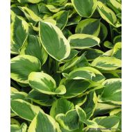 Hosta 'Clifford's Forest Fire' (Funkia) - hosta_clifford_s_forest.jpg
