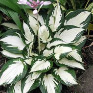 Hosta 'Fire and Ice' (Funkia) - hosta_fire_and_ice.jpg