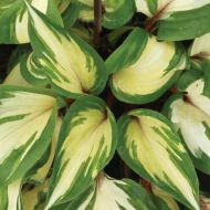 Hosta 'Rasberry Sundae' (Funkia) - hosta_rasberry_sundown.jpg