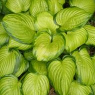 Hosta 'Stained Glass' (Funkia) - hosta_stained_glass.jpg