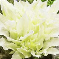 Hosta 'White Feather' (Funkia) - hosta_white_feather_a.jpg