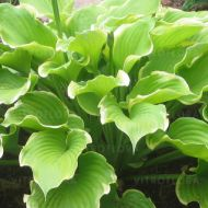 Hosta 'Winter Snow' (Funkia) - hosta_winter_snow.jpg