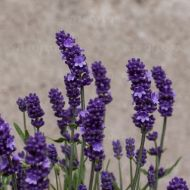 Lavendula augustifolia 'Sentivia Early Blue' (Lawenda wąskolistna) - lavandula_sensitivia_early_blue.jpg