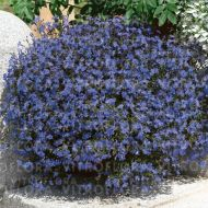 Lobelia 'Early Sky Blue' - lobelia__early_sky_blue_.jpg