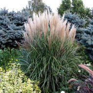Miscanthus sinensis 'Grosse Fontaine'(Miskant chiński) - miskant-chinski-grosse-fontane_1.jpg
