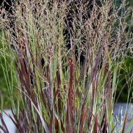 Panicum virgatum 'Purple Breeze' (Proso rózgowate) - panicum-purple-breeze_79135_5.jpg