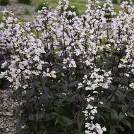 Penstemon digitalis 'Onyx & Pearls'  (Penstemon palczasty ) - penstemon_bialy.jpg