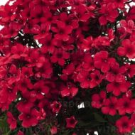 Phlox paniculata 'Early Red' (Floks wiechowaty) - phlox_early_red_2.jpg