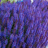 Salvia nemorosa 'Deep Blue Field' (Szałwia omszona) - salvia-deep-blue-field_8.jpg