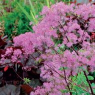 Thalictrum actaeifolium 'Black Stockings' (Rutewka orlikolistna) - thalictrum_black_stockings.jpg