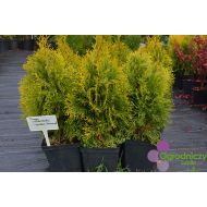 Thuja occidentalis 'Golden Smaragd'/'Janet Gold' (żywotnik zachodni) - thuja_occidentalis_golden_smaragd.jpg