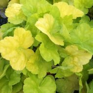 Heuchera 'World Caffe Romano' (Żurawka) - world_caffe_romano.jpg